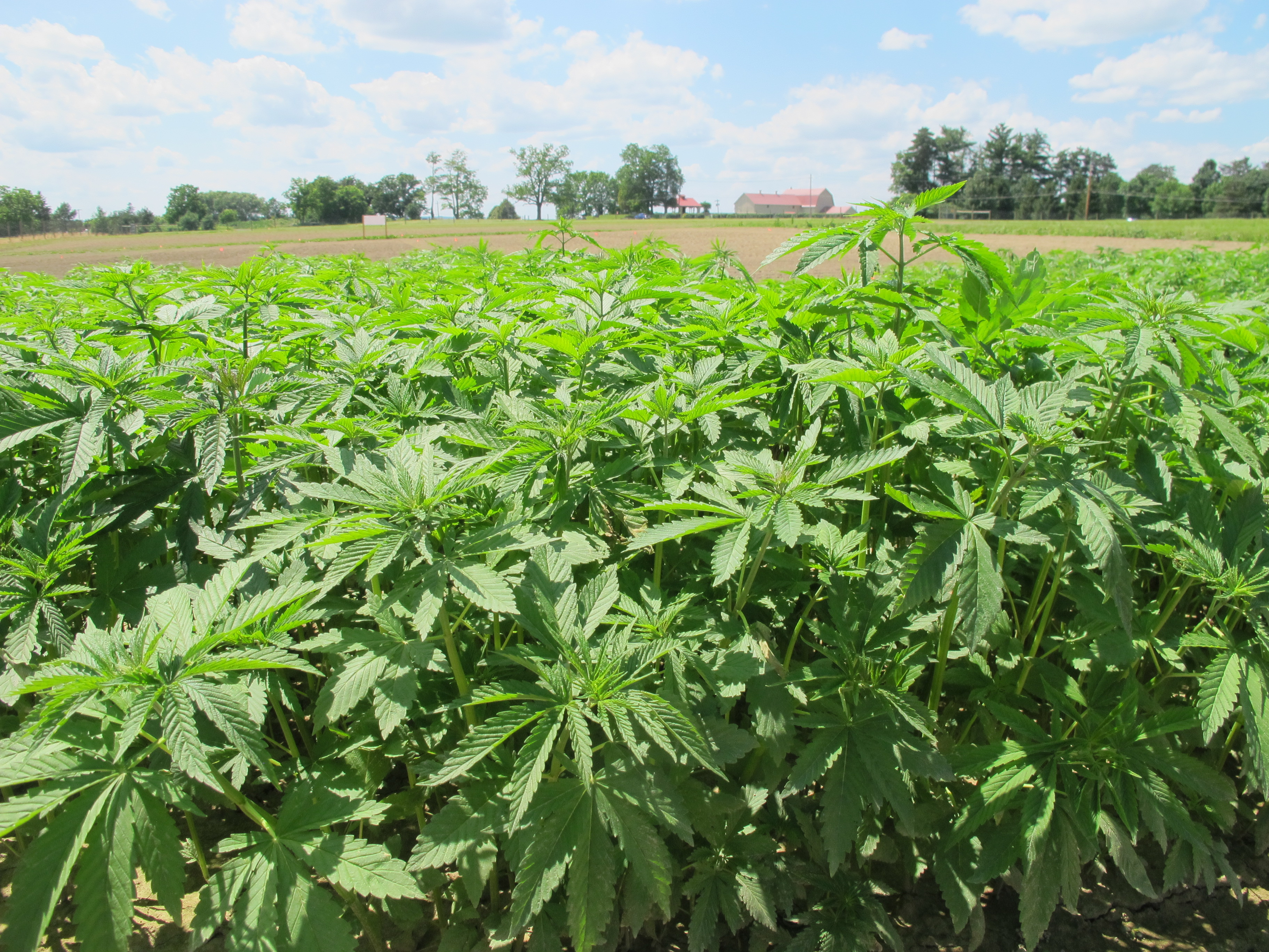 Industrial Hemp Agriculture And Markets