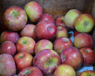 A container full of red McIntosh apples.