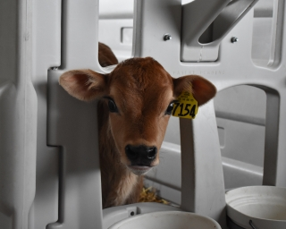 A brown calf peeks out of her barn.