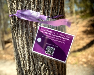 A purple sign warning against emerald ash borer is tied around a tree trunk.
