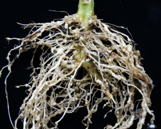 Golden nematode affecting a tomato plant's roots.