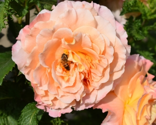 A honey bee in the center of a pale peach colored rose in a New York garden.
