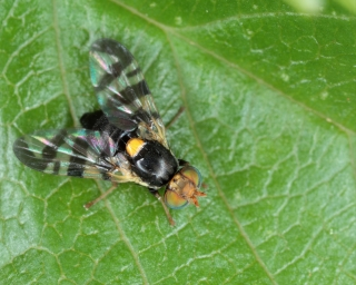 a European cherry fruit fly on a green leaf.