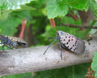 Two spotted lanternflies on a branch with green leaves.