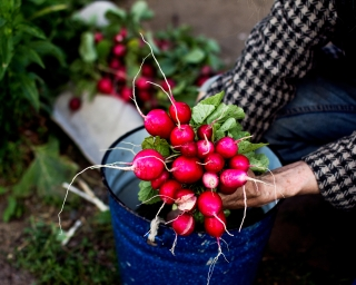 A woman holding a bunch of radishes in the garden.