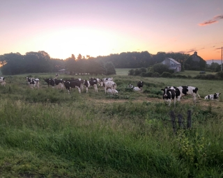 Cows graze in a field at sunrise.
