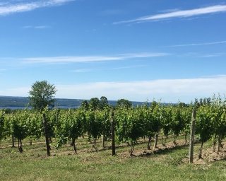 A vineyard in New York State.