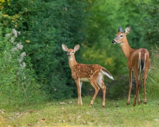 A mother and baby deer looking back at the camera, about to enter a wooded area.