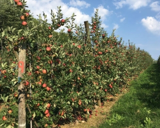 An apple orchard with bright red apples.