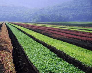 Rows of vegetables growing in a field in Pine Island, New York.