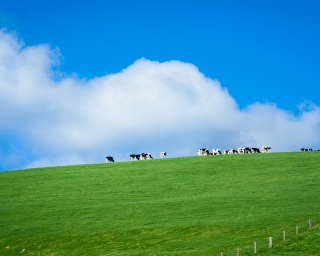 A green field and blue sky, with cows in the far background.