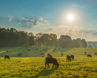 cows grazing in a pasture under bright sun