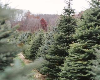 New York State Christmas trees waiting to be cut.