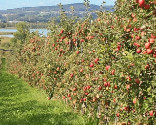 An apple orchard on a sunny day with mountains and a body of water behind.