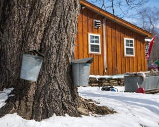 A tapped tree collecting sap to make maple syrup.
