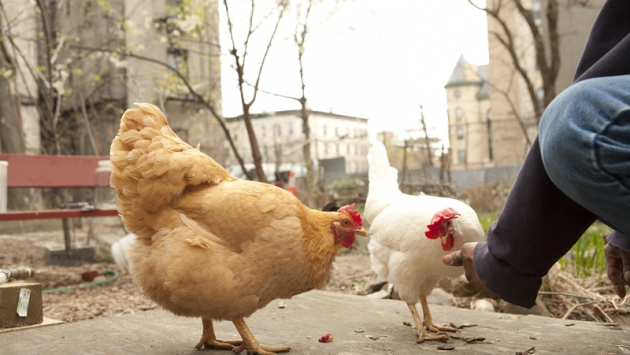 Chickens in Brooklyn, New York.