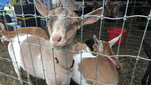 Animals at the Alleghany County Fair